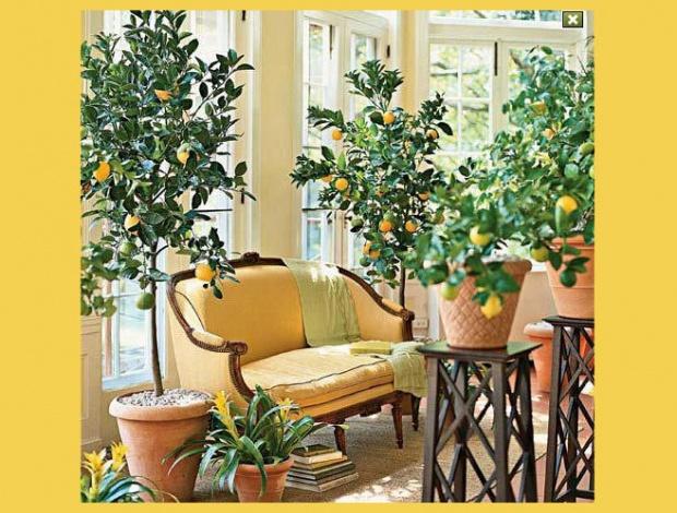 выращивание цитрусовых деревьев в квартире