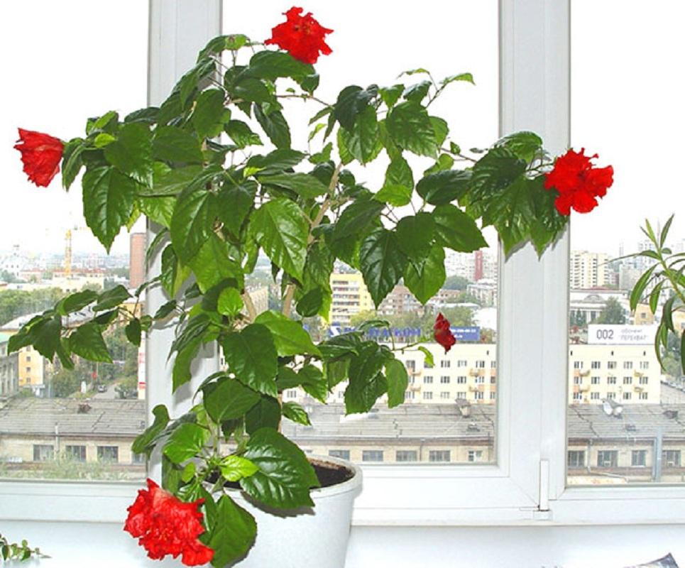 Цветы домашние китайская роза