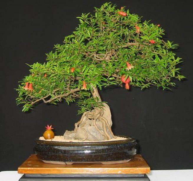 гранатовое дерево в квартире