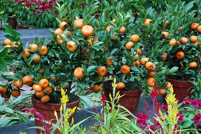карликовые плодоносящие деревья