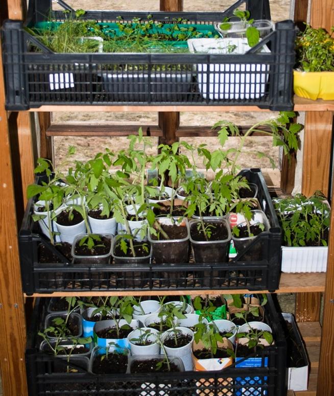 Рассада в ящиках для овощей